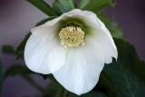 Helleborus 'White Lady' (a bit shy)