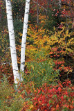 Birch at Franconia Notch