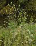 Brassica nigra.