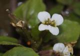 Rorippa officinale. Flower close-up.