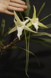 Angraecum sesquipedale with hand.