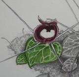 Corybas pictus. Painting close-up