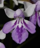Ponerorchis graminifolia 4