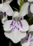 Ponerorchis graminifolia 6
