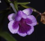 Ponerorchis graminifolia 9