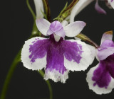 Ponerorchis graminifolia 10
