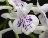 Ponerorchis graminifolia 12