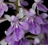 Ponerorchis graminifolia 13