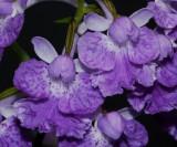 Ponerorchis graminifolia 15 Close-up