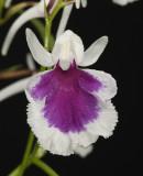 Ponerorchis graminifolia 16