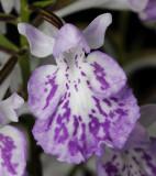 Ponerorchis graminifolia 17