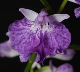 Ponerorchis graminifolia 19