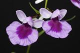Ponerorchis graminifolia 20