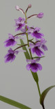 Ponerorchis graminifolia 21