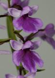 Ponerorchis graminifolia 21 Close-up