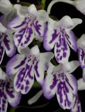 Ponerorchis graminifolia 22 Close-up