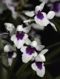 Ponerorchis graminifolia 26