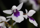 Ponerorchis graminifolia 26 Close-up