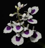 Ponerorchis graminifolia 29