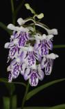 Ponerorchis graminifolia 22