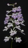 Ponerorchis graminifolia 27