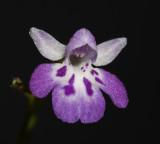 Ponerorchis graminifolia 31
