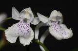 Ponerorchis graminifolia 32