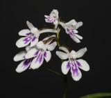 Ponerorchis graminifolia 33