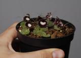 Coribas pictus. In hand.