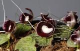 Corybas pictus. Closer.