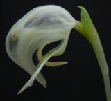 Pterostylis nutans forma alba. Close-up.