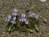 Flowers blue. Plant without underground runners. Leaves usually with a heart shaped base. (Viola canina)