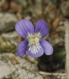Viola canina. Nice clone.