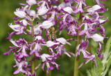 Orchis militaris with bee.