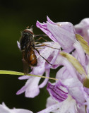 Orchis militaris with fly.