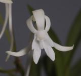 Neofinetia falcata 'Soubiryu'. Close-up.