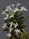 Neofinetia falcata 'Tamakongo'. Year two.