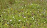 Viola persicifolia var. persicifolia. Field.