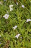 Viola persicifolia var. persicifolia. Large stem.