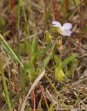 Viola persicifolia var. lacteaeoides. Side.
