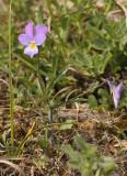 Viola curtisii. Closer.