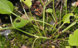 Viola canina. Plant base.