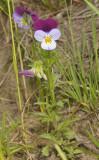 Viola tricolor. (Common colour)