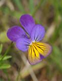 Viola tricolor. Close-up