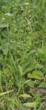 Capsella bursa-pastoris.