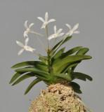Neofinetia falcata 'Kutsuwamushi'.