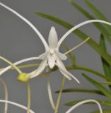 Neofinetia falcata 'Manjusyage'. Close-up.