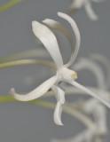 Neofinetia falcata 'Tenshin'. Close-up.