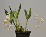 Coelogyne punctulata. plant.
