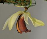 Coelogyne usitana. Close-up.
